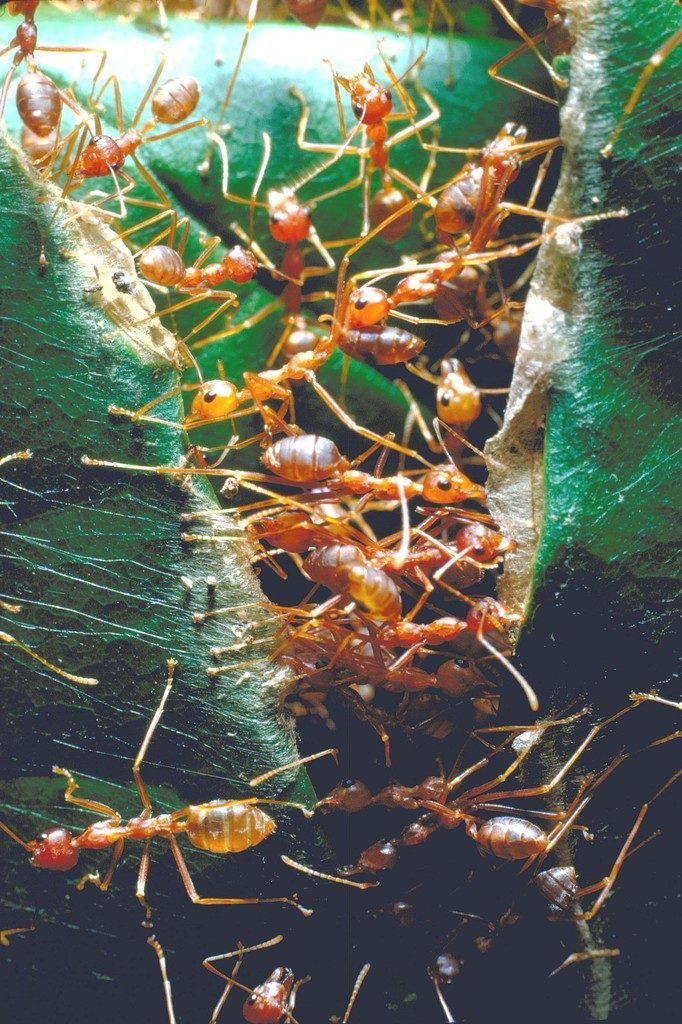 A group of driver ants in Africa. (Photo by Carlo Bavagnoli/The LIFE Picture Collection © Meredith Corporation)