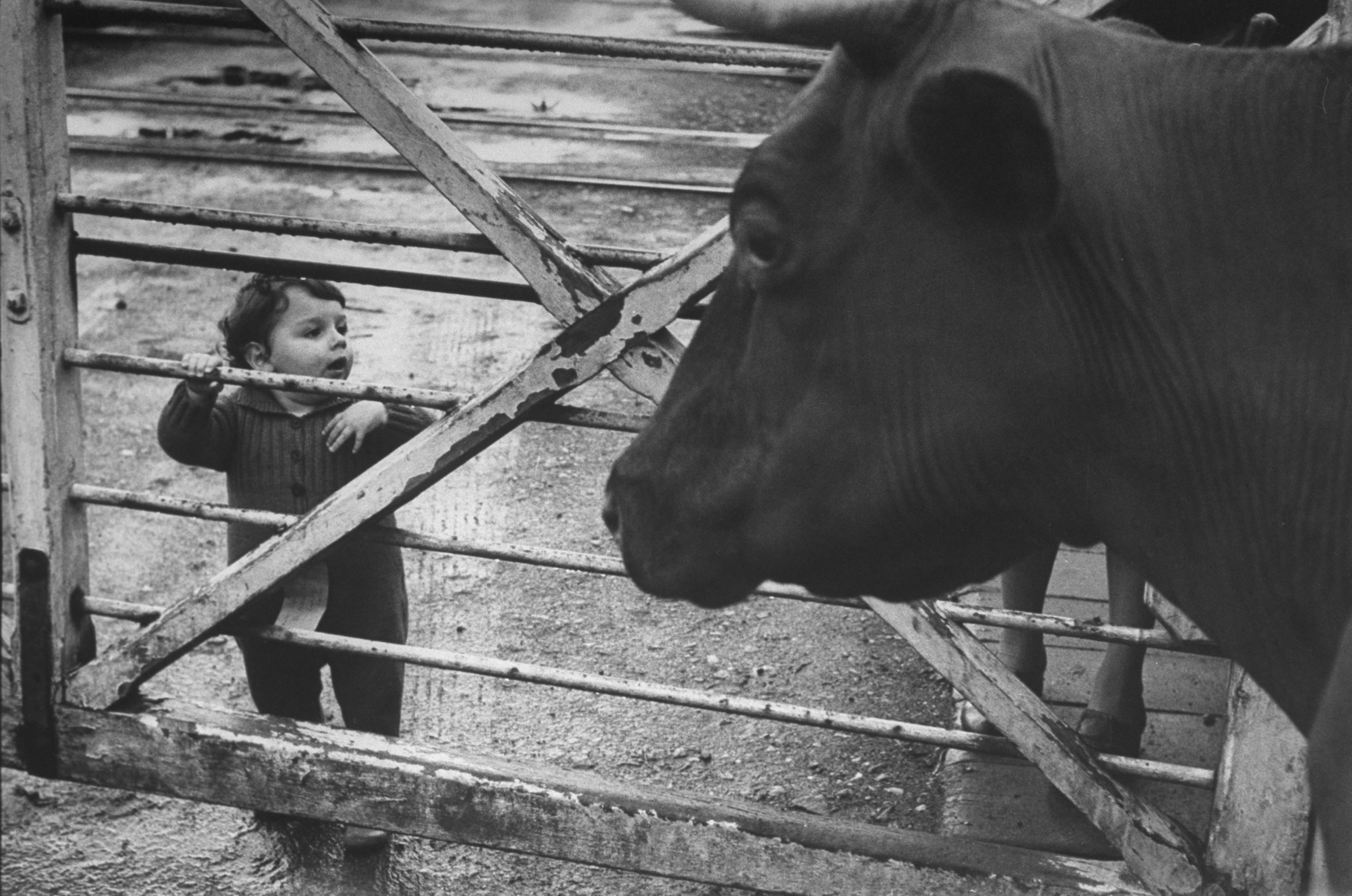 Boy looking at a cow in London. (Photo by Ian Smith/The LIFE Picture Collection © Meredith Corporation)