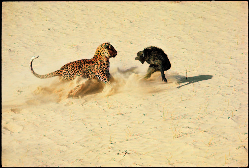 Leopard about to kill a terrified baboon. (Photo by John Dominis/The LIFE Picture Collection © Meredith Corporation)