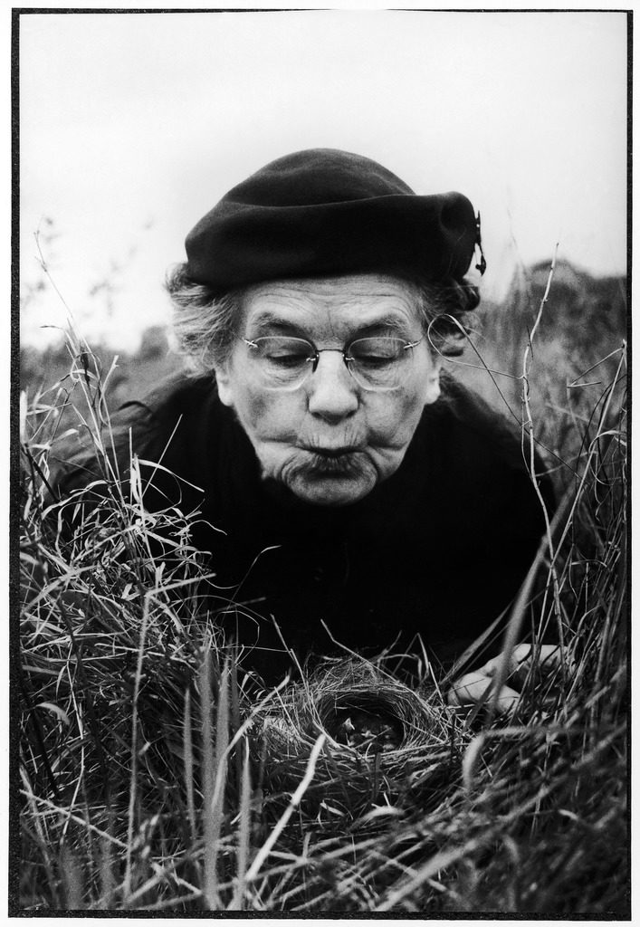 Mrs. Margaret Morse Nice lying flat in grass to study nest of baby field sparrows. (Photo by Al Fenn/The LIFE Picture Collection © Meredith Corporation)