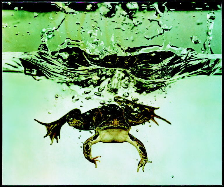Frog submerging after jumping into an aquarium tank. (Photo by Gjon Mili/The LIFE Picture Collection © Meredith Corporation)