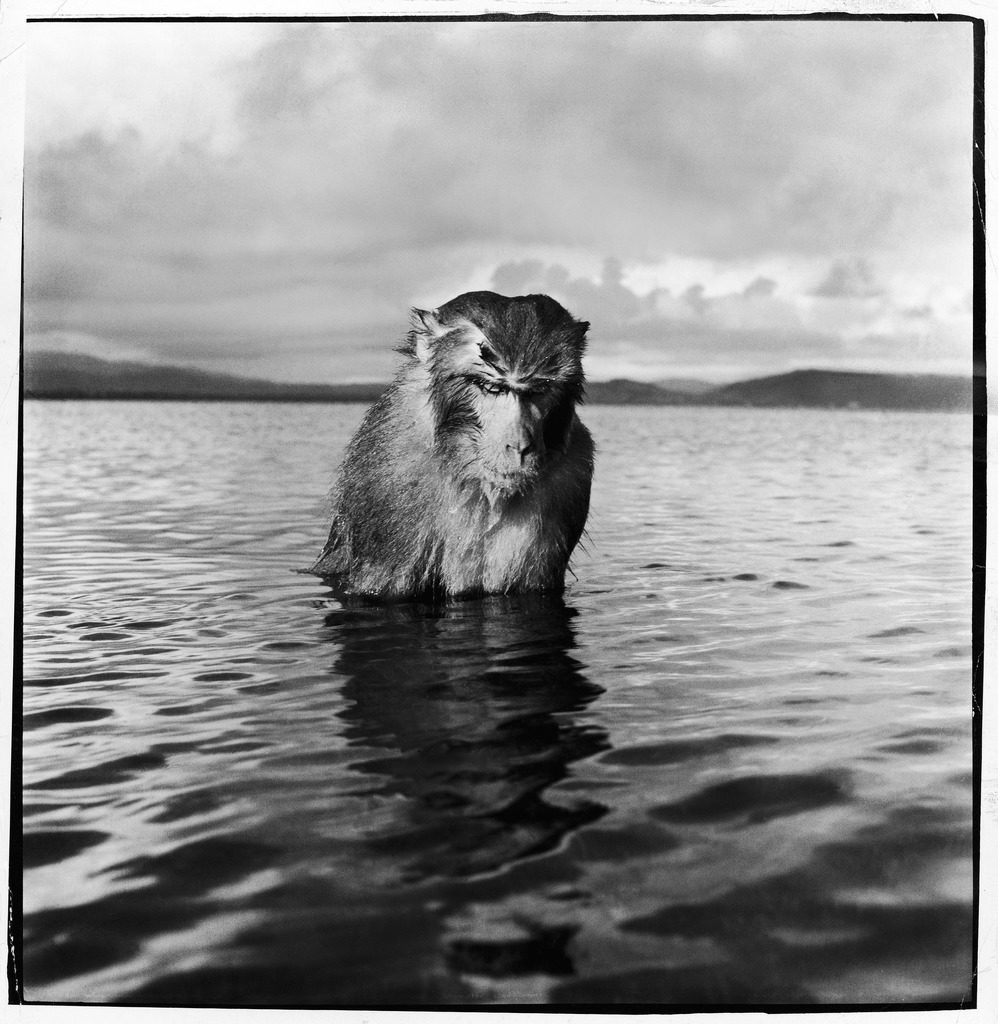 A rhesus monkey sitting in water up to his chest. (Photo by Hansel Meith/The LIFE Picture Collection © Meredith Corporation)