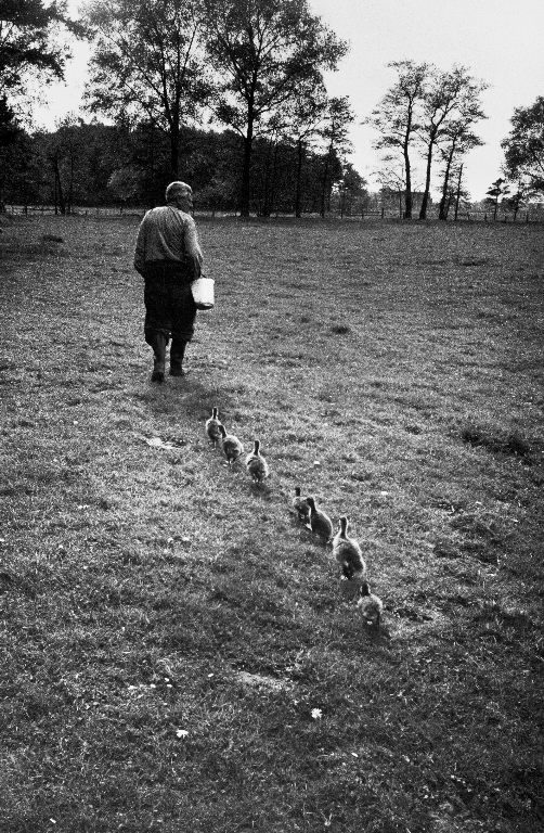 German Ethologist Dr. Konrad Z. Lorenz studying unlearned habits of ducks and geese at Woodland Institute. (Photo by Thomas McAvoy/The LIFE Picture Collection © Meredith Corporation)