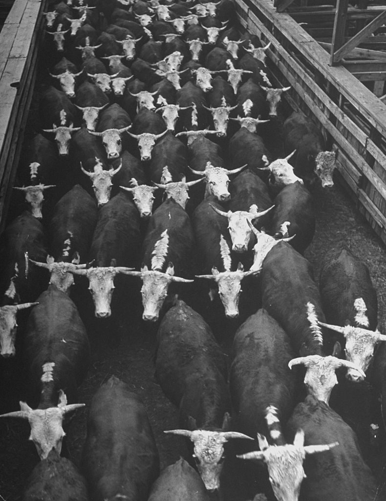 A view of the overcrowded stockyard conditions in the Farm Glut. (Photo by Wallace Kirkland/The LIFE Picture Collection © Meredith Corporation)