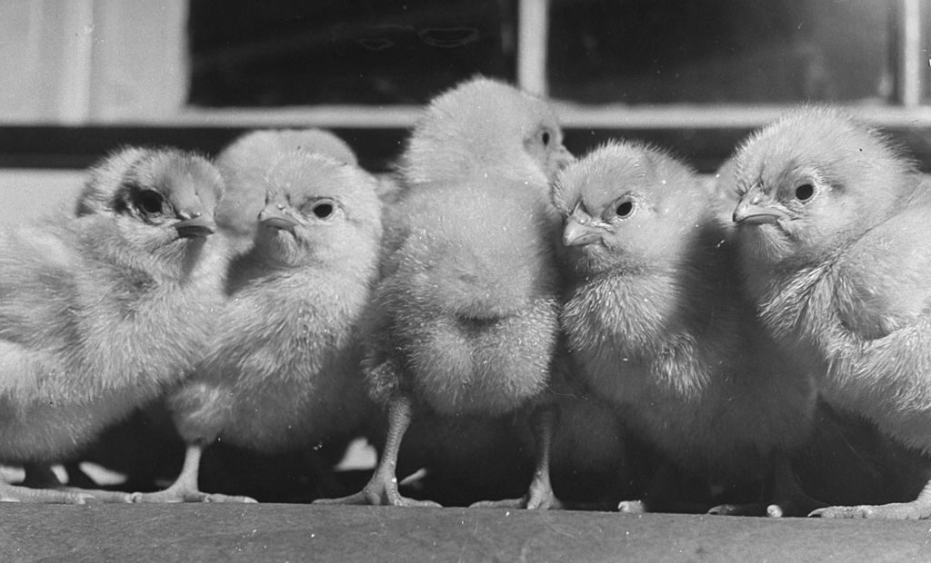 Sassy, plump baby chicks heralding the spring. (Photo by Wallace Kirkland/The LIFE Picture Collection © Meredith Corporation)
