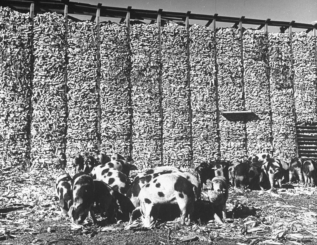 Pigs eating corn that has fallen from the huge crib. (Photo by Wallace Kirkland/The LIFE Picture Collection © Meredith Corporation)