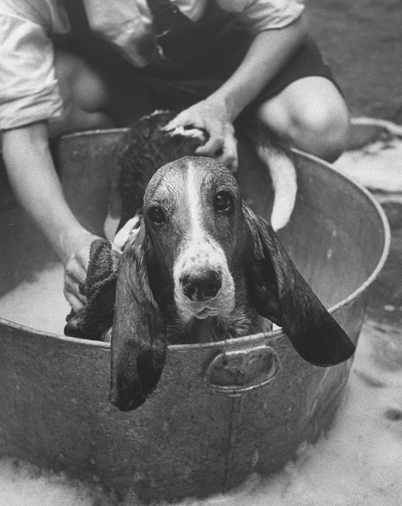 Basset Hound being bathed in back yard. (Photo by Robert W. Kelley/The LIFE Picture Collection © Meredith Corporation)