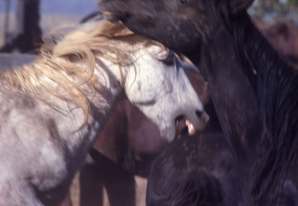 Mustangs in the wild, 1968.