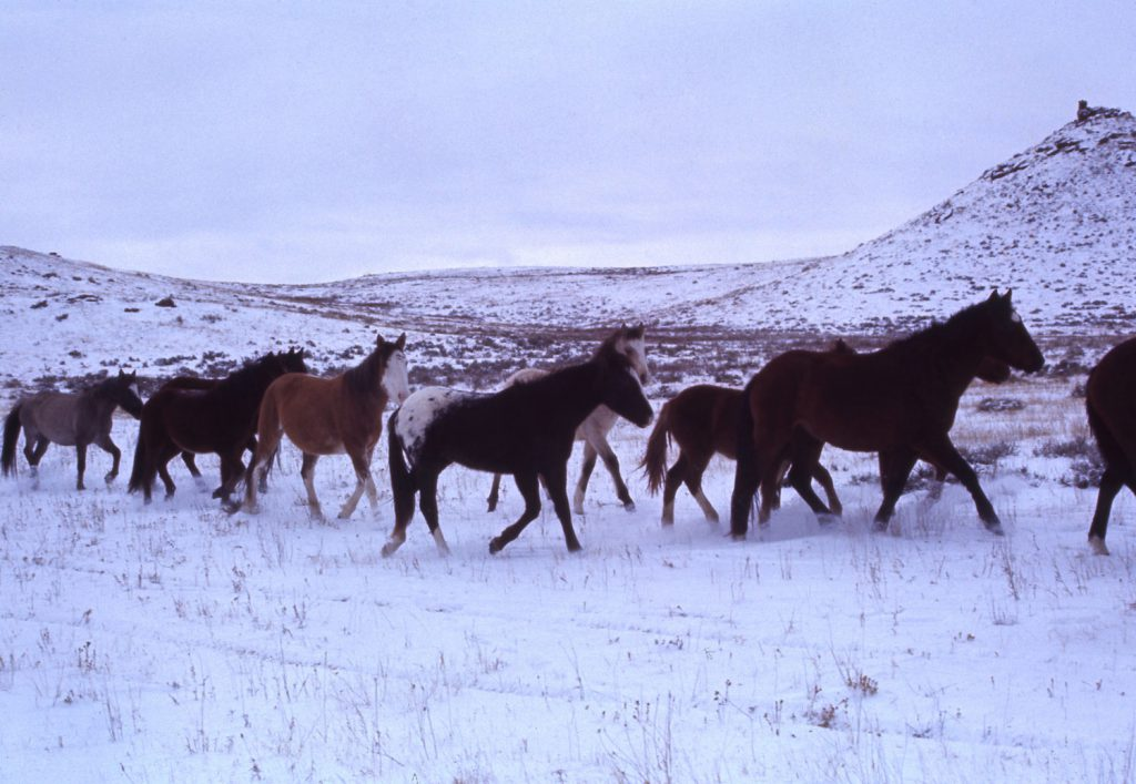 Mustangs in the snow, 1968.