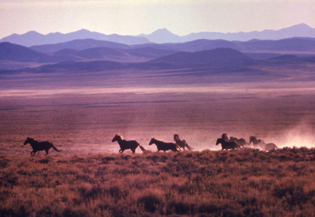 Mustangs race across the Nevada sage, 1968.