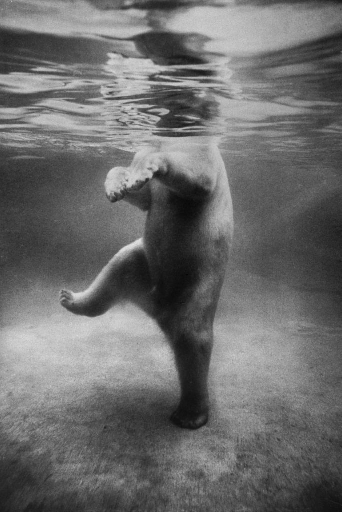 A polar bear seen underwater at a London zoo in 1967.