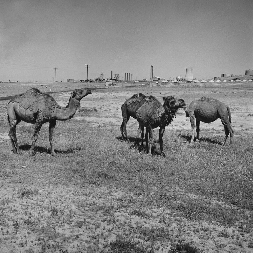 Camels graze near an oil refinery, Iraq, 1945