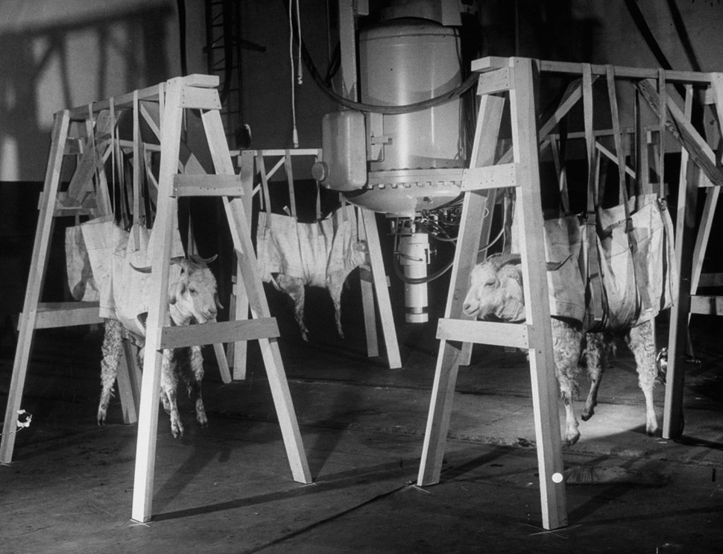 Sheep that survived an atom bomb test are studied for radiation poisoning, 1949.