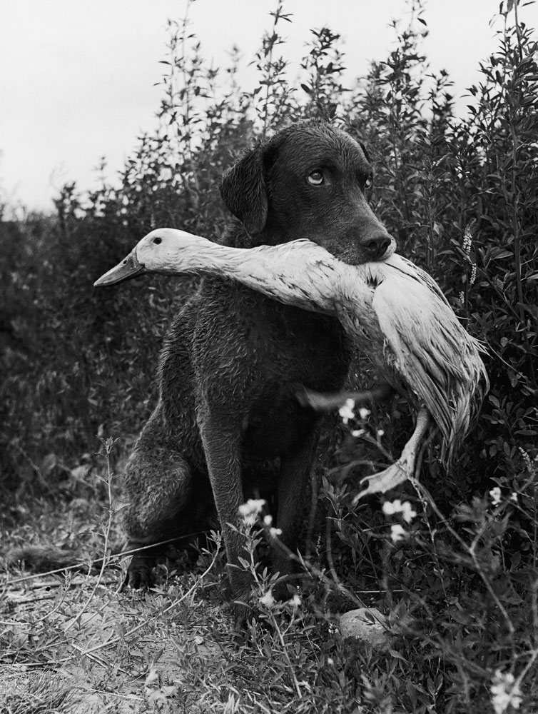 Donald the dog-loving duck plays with his friend, Trigger, a Chesapeake Bay Retriever, 1949.