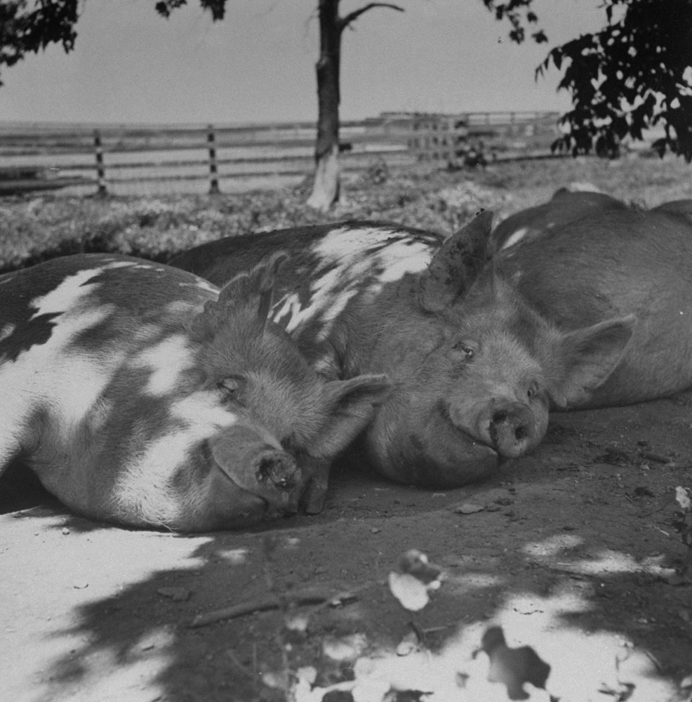 Yorkshire hogs appear to smirk as they share the shade on a hot summer day in 1951.