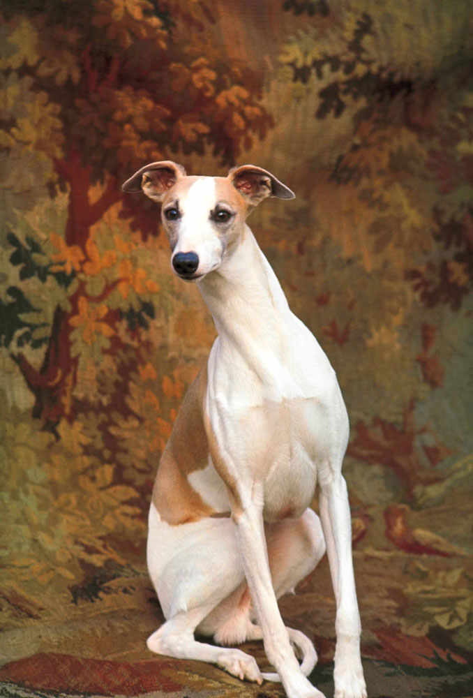 Whippet chosen Best in Show at Westminster Kennel Club Dog Show, New York City, 1964.