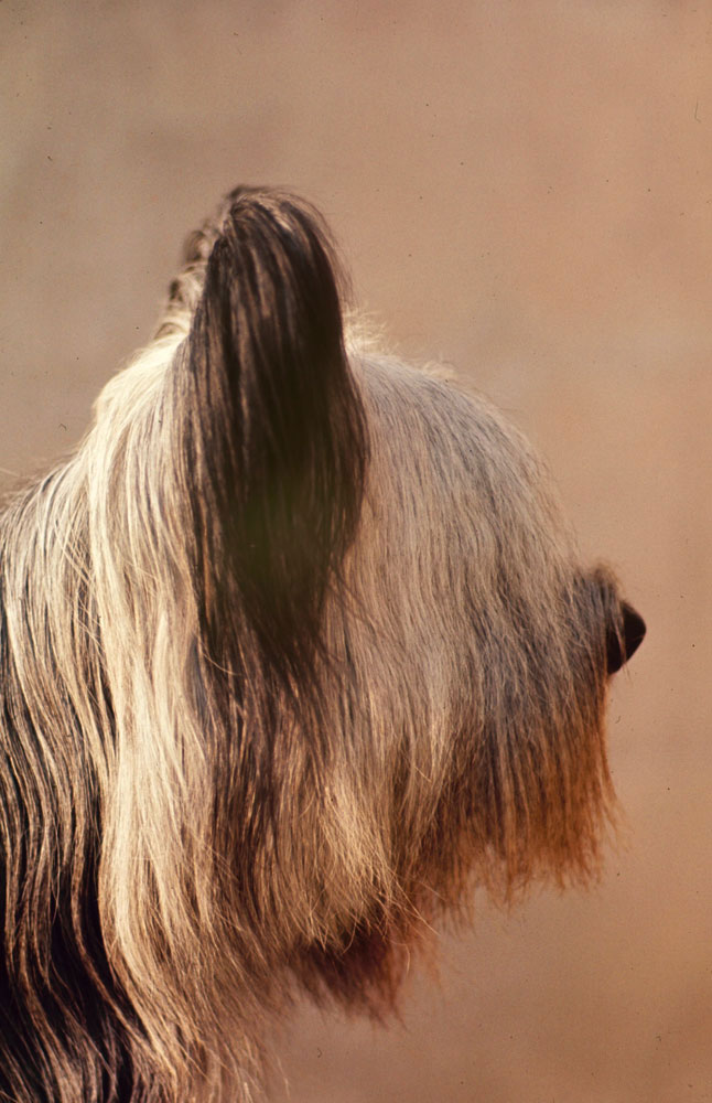 Skye Terrier, Jacinthe de Ricelaine, 1964.