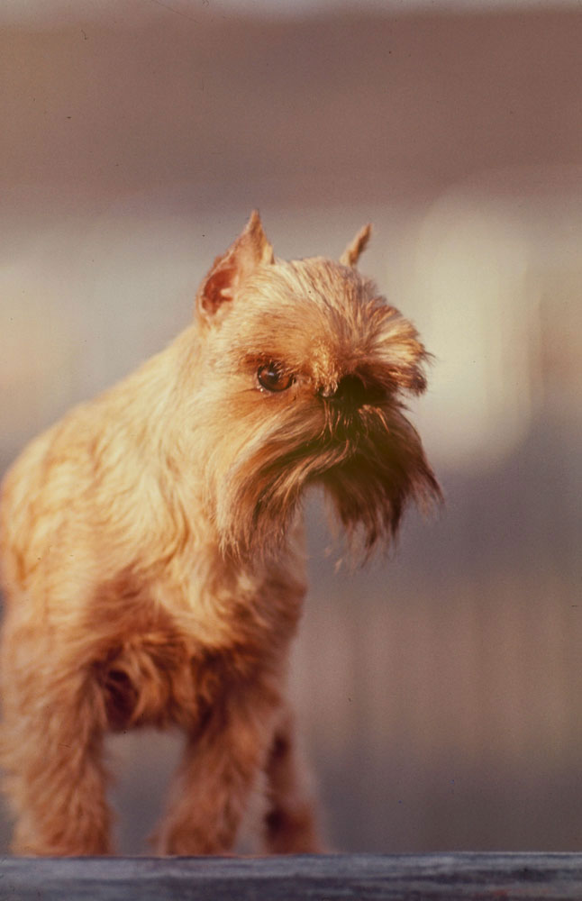 Brussels Griffon, Barmere's Mighty Man, 1964.