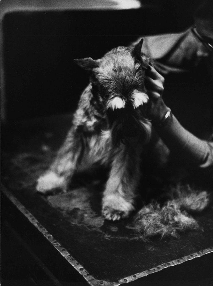 Westminster Dog Show, 1955.