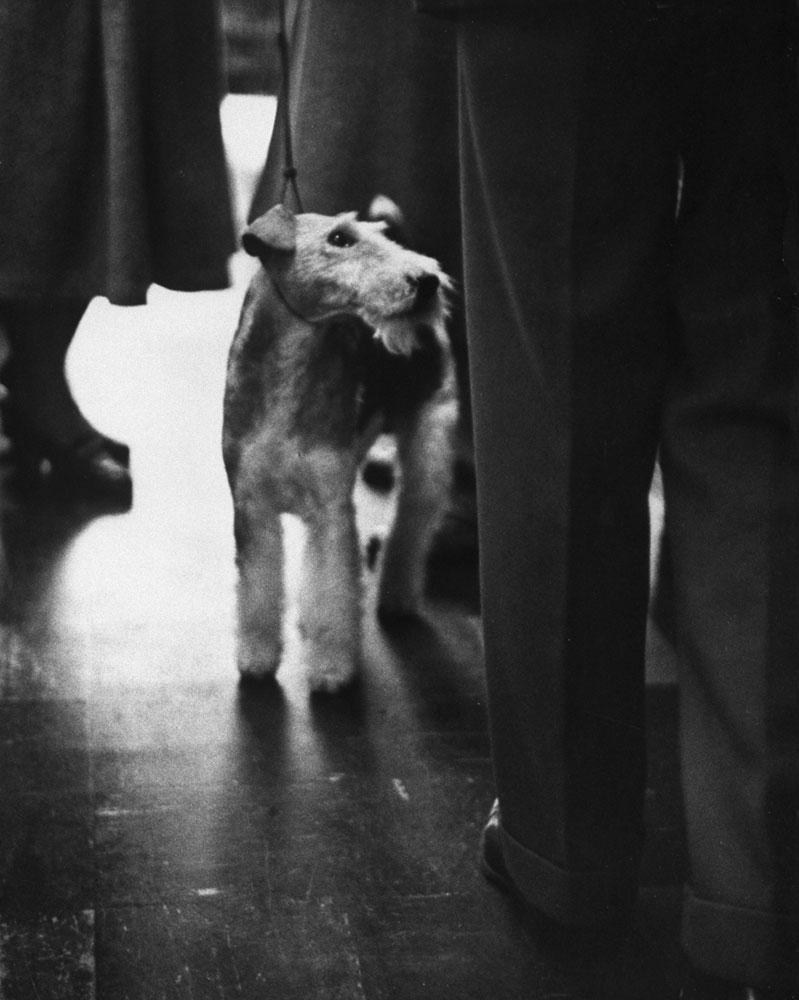 Wire Fox Terrier, Travella Superman of Harham, 1955.