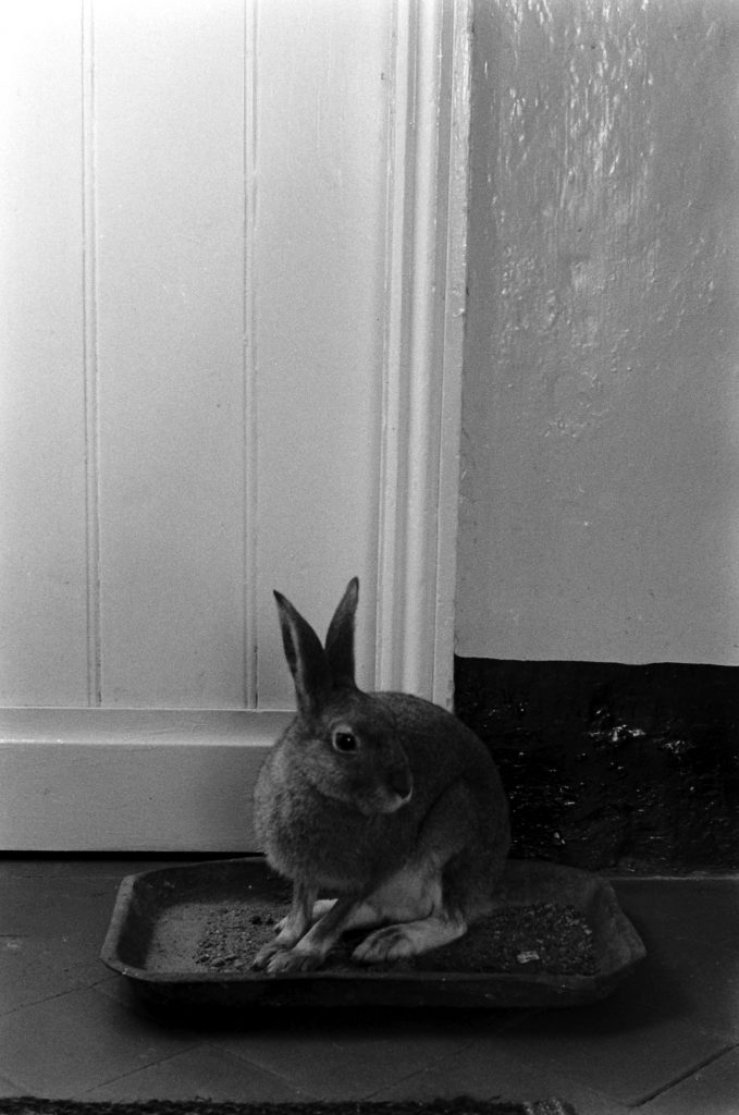 Horace the Irish hare, 1956.