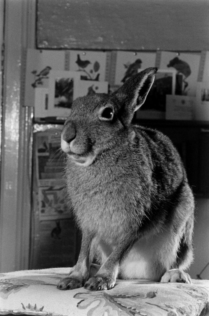Portrait of Horace the Irish hare, 1956.