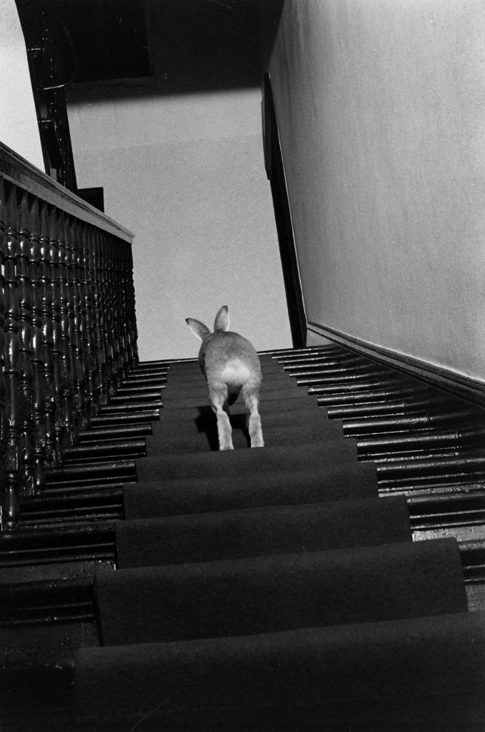 Horace the Irish hare navigates the stairs in home of Cecil S. Webb, director of the Dublin Zoo, 1956.