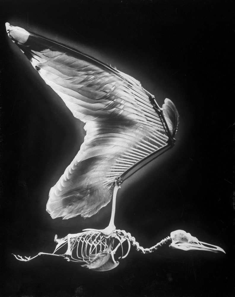 Skeletal structure of a bird, 1951.