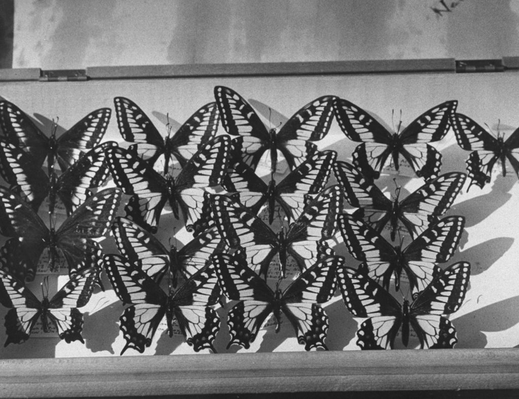 Part of Vladimir Nabokov's butterfly collection, Ithaca, N.Y., 1958.