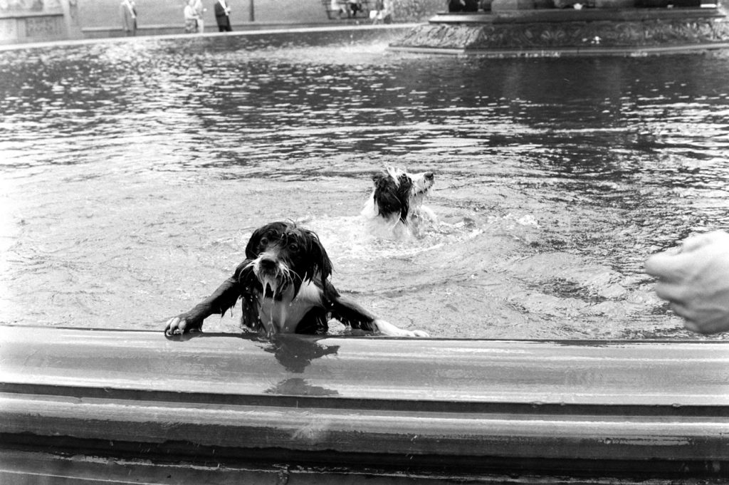 Dogs in a fountain, Central Park, 1961.