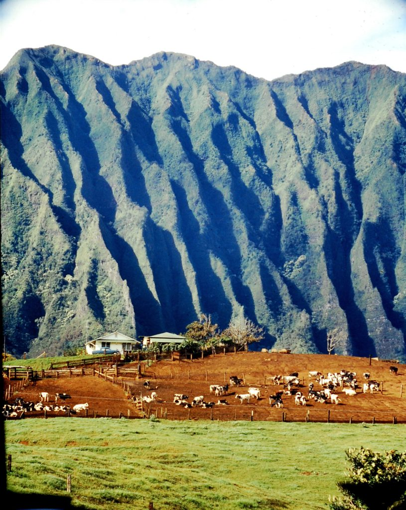 Cattle graze under volcanic cliffs on Oahu, 1959.