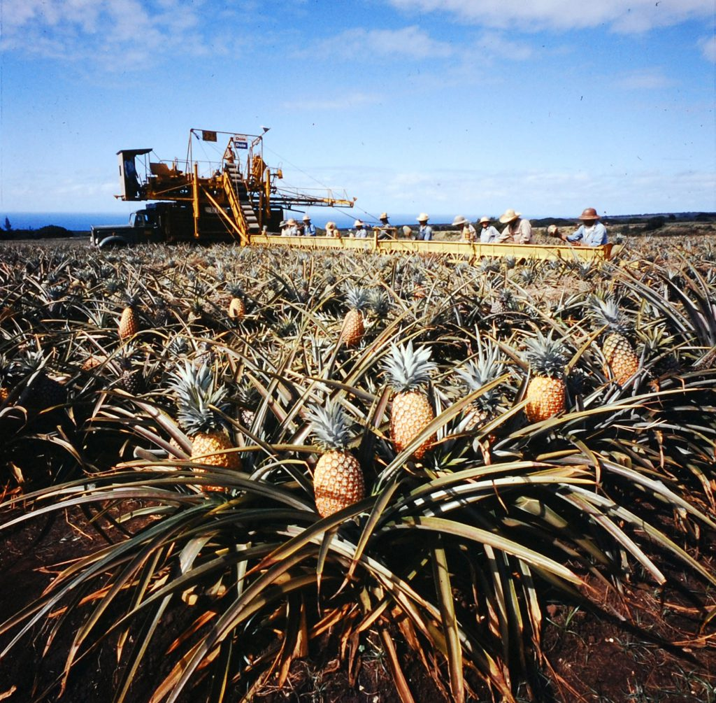 Scene at Dole's 15,000-acre Wahiawa plantation near Honolulu, 1959.