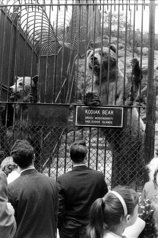 Kodiak bears, Central Park, 1961.
