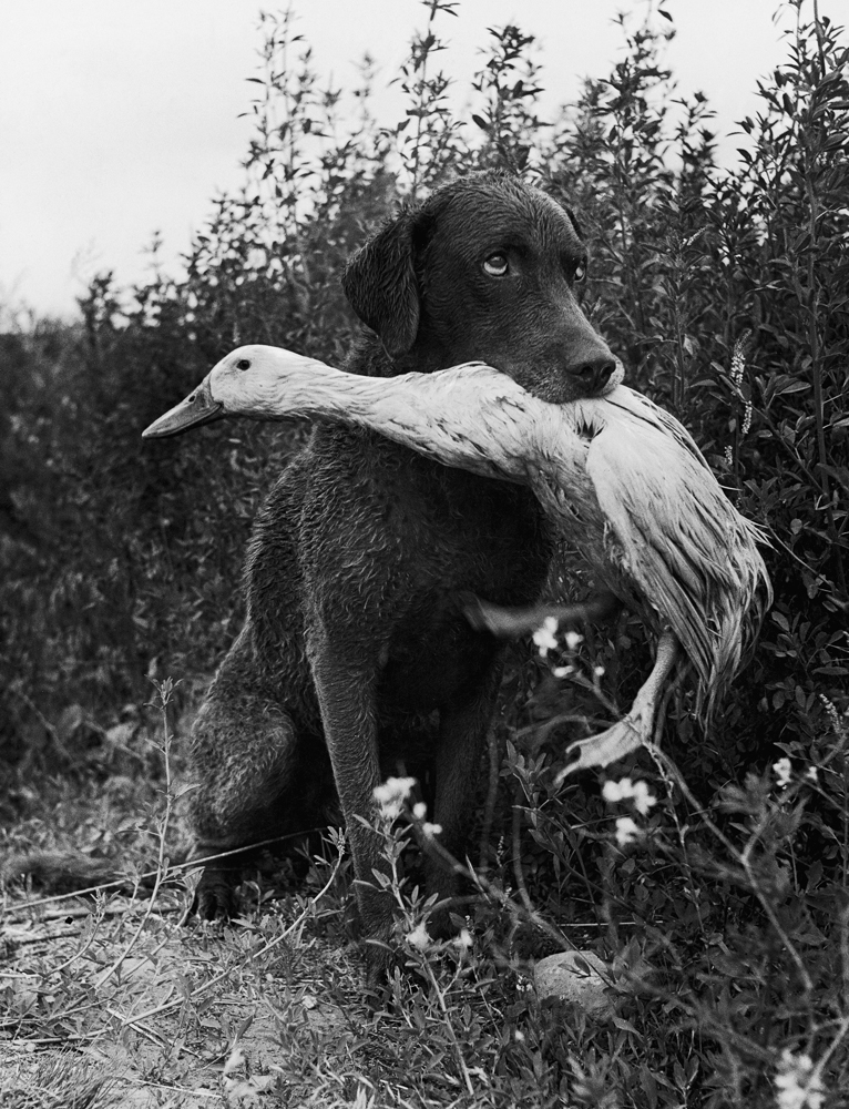 Donald the dog-loving duck plays with his friend Trigger, a Chesapeake Bay Retriever, Yakima, Wash., 1949.