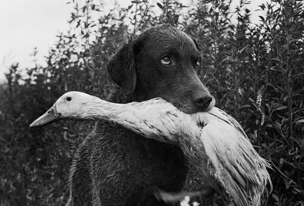 Donald the dog-loving duck plays with his friend Trigger, a Chesapeake Bay Retriever.