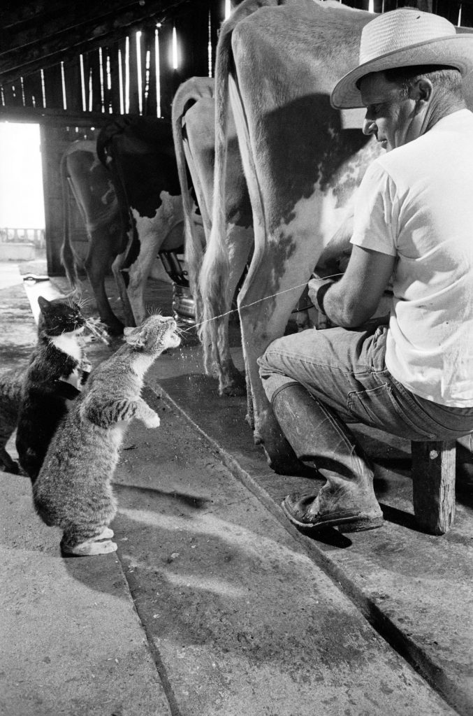 Brownie gets the milk as Blackie looks on and waits his turn.