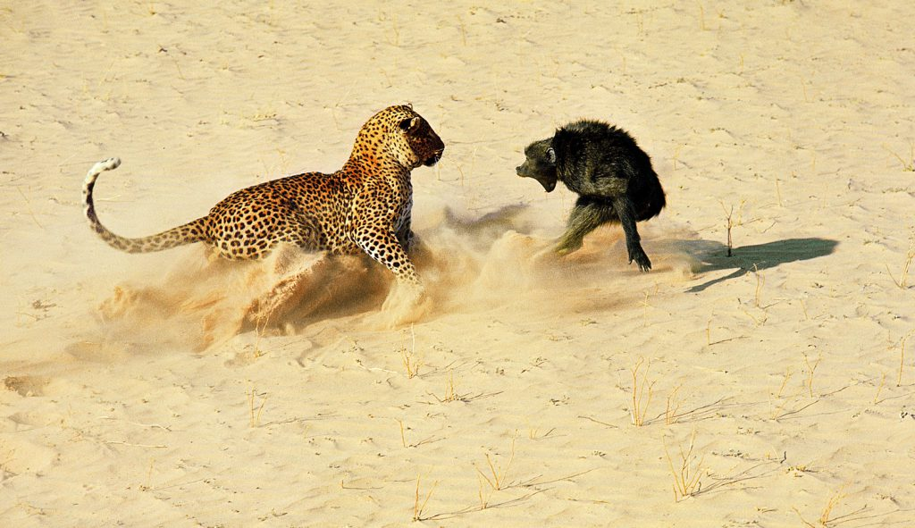 A leopard about to kill a baboon, Botswana, Africa, 1966.