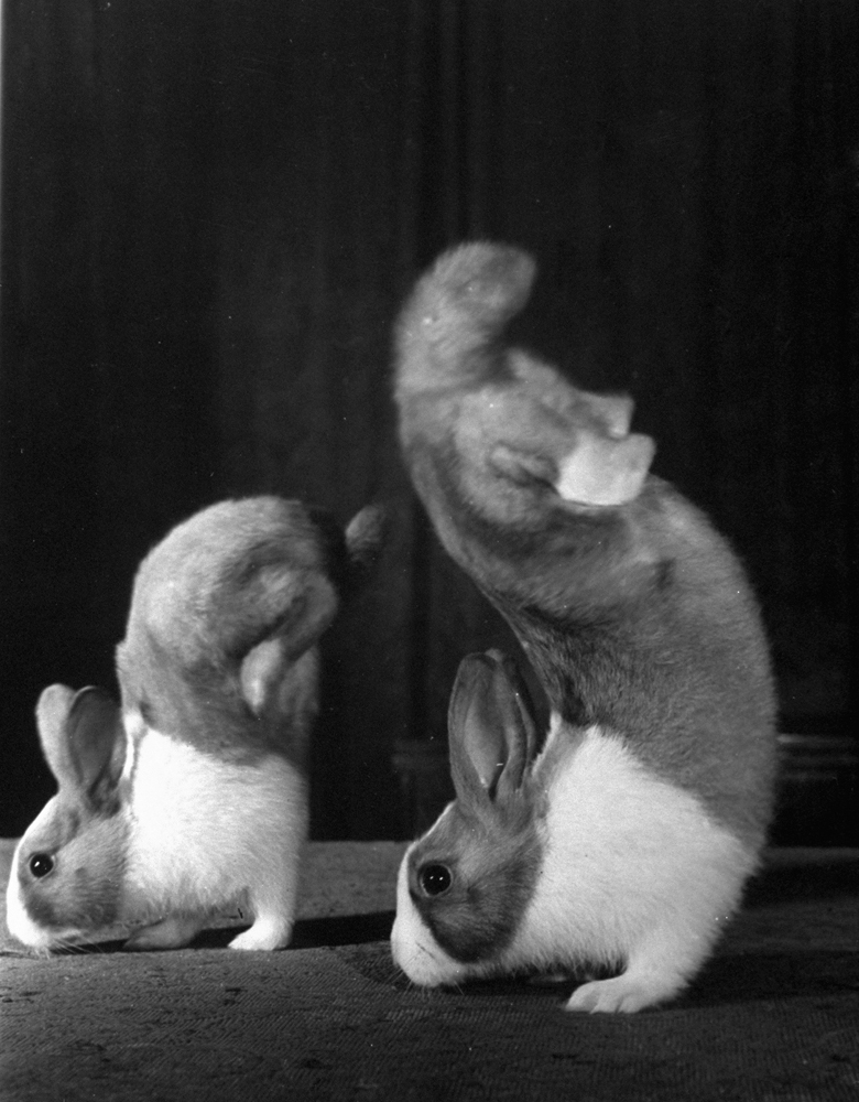 Junior and Mr. Walker, rabbits that walked on their forefeet.