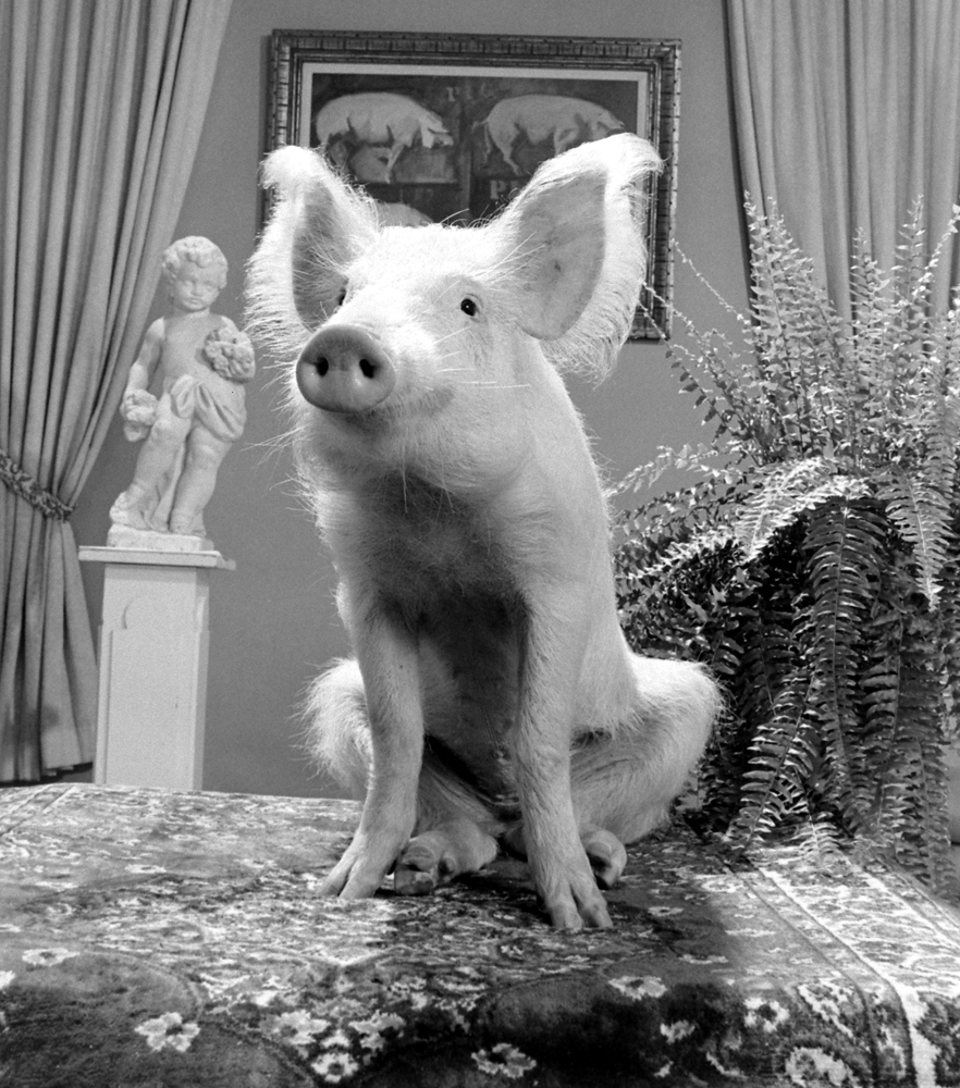 "A pig that played Arnold on the TV show, ""Green Acres,"" 1970."
