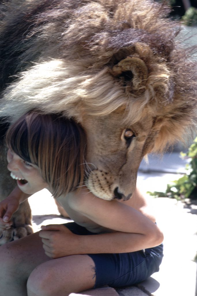 Neil the lion plays with a child, Calif., 1971.