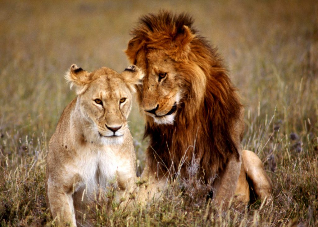 A pair of lions in the wild in Africa, 1966.