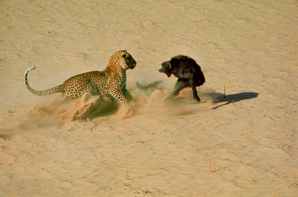 A leopard about to kill a baboon, 1966.