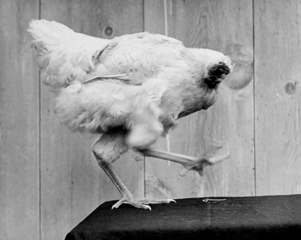 """Mike the headless chicken """"dances"""" in 1945."""