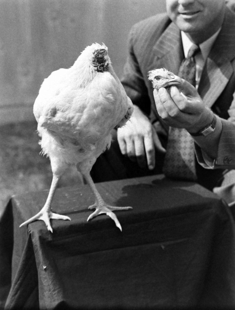 Promoter Hope Wade holds Mike the headless chicken's formerly useful noggin, as if attempting to reintroduce the bird to its lost self, in 1945. (Some reports, however, claim that the Olsons' cat ate Mike's head, and that another rooster's head stood in for Mike's during his brief brush with fame.)