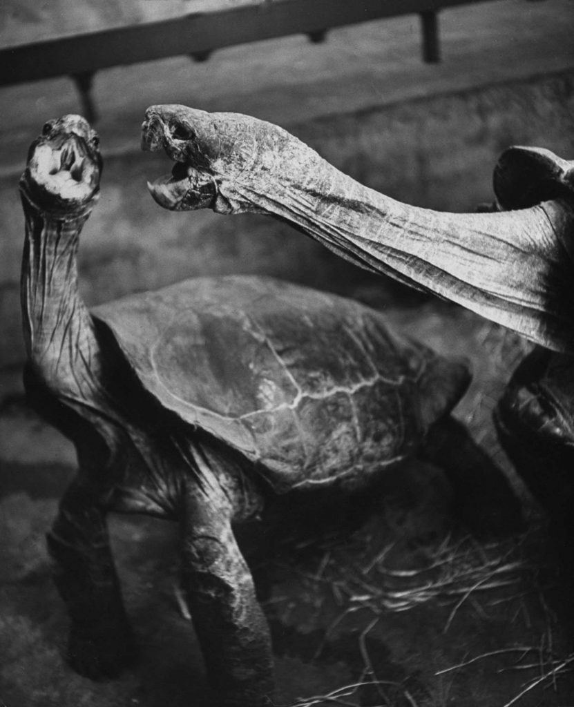 "Caption that accompanied this picture in the April 1, 1940, issue of LIFE: ""Fighting turtles open their bills wide, lunge and dodge for minutes at a time. They do not snap their jaws until they clamp them tight in the final grip on other's head."""