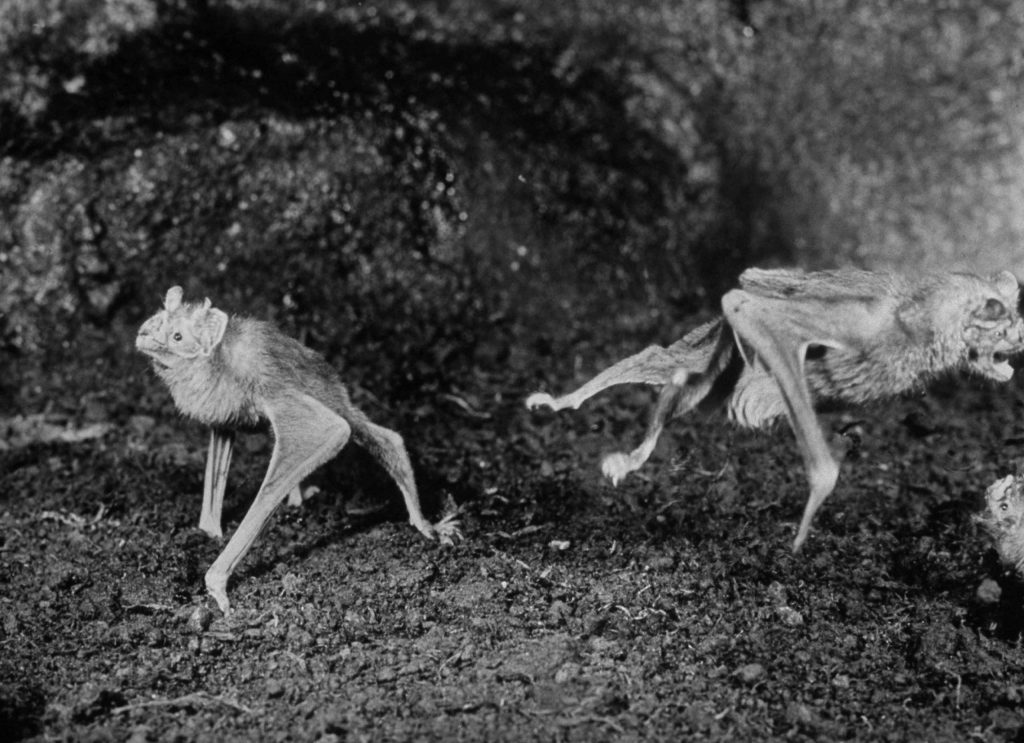 "Caption that accompanied this picture in the March 29, 1968, issue of LIFE: ""As agile as frogs, vampire bats in the Cincinnati zoo hop and leap about their cage."""