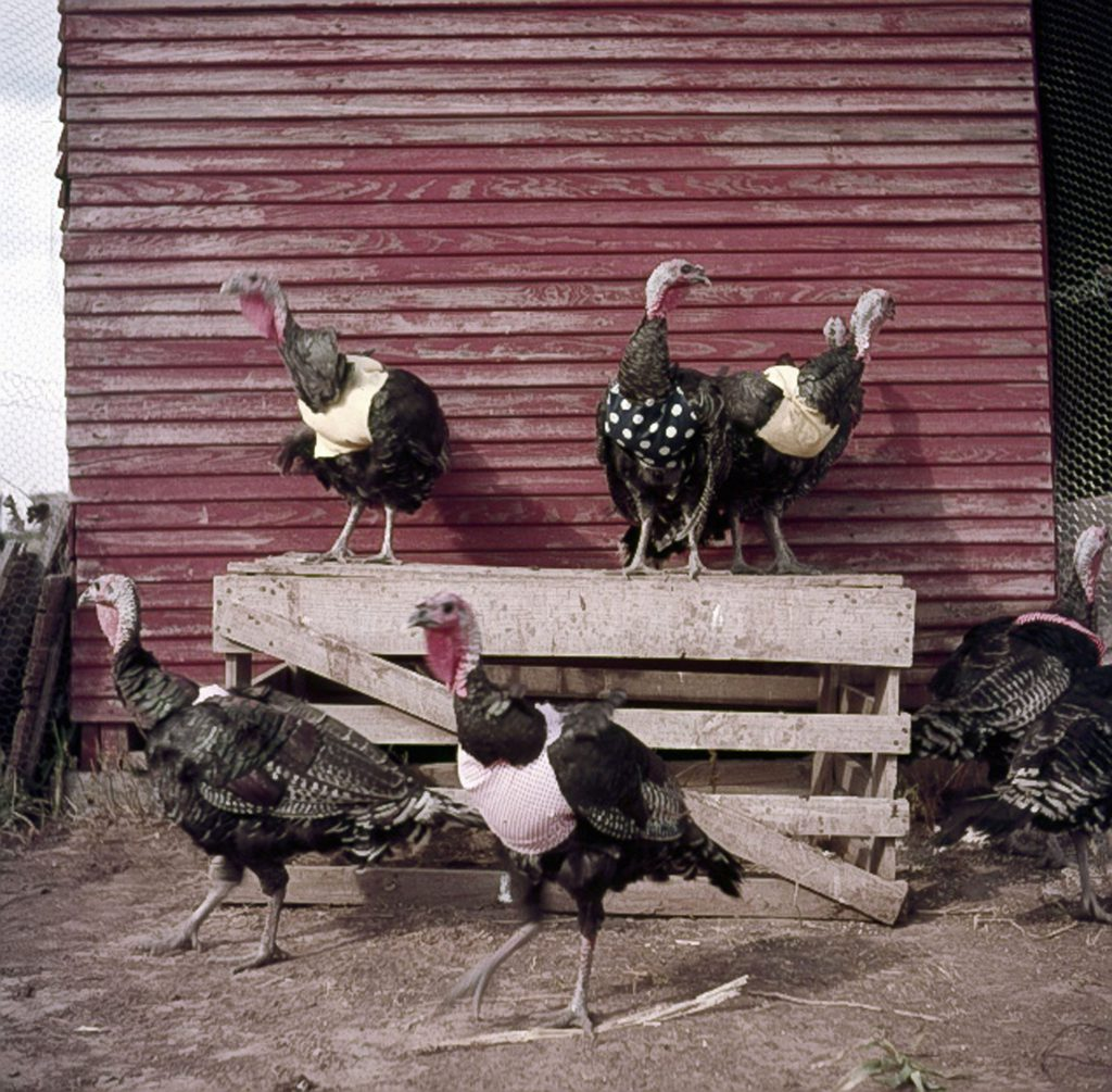 Turkeys with halters, 1954.