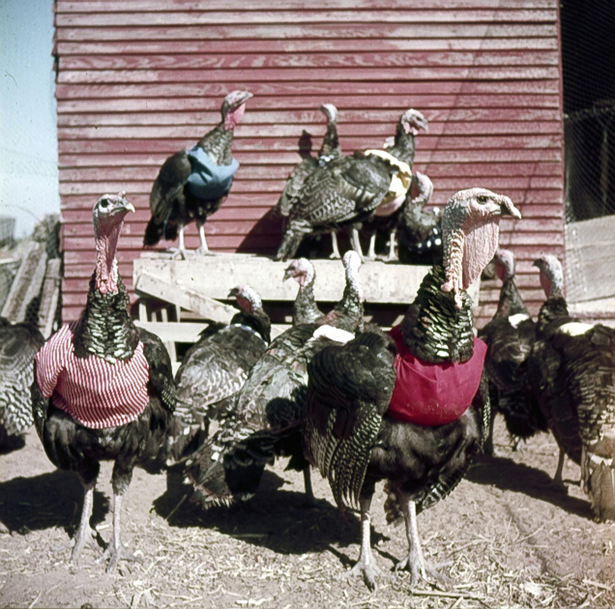 Turkeys with halters, 1954.