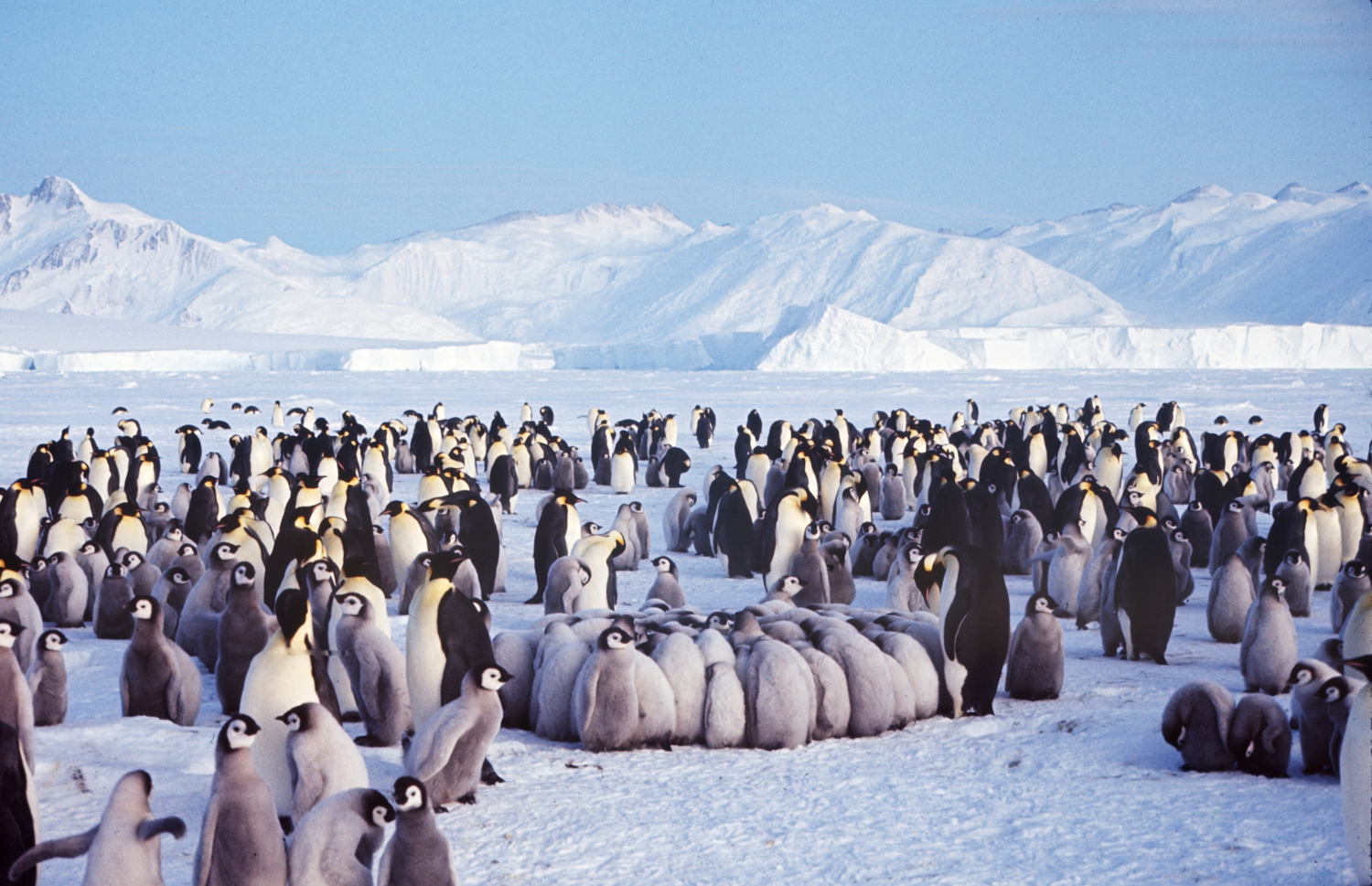 Penguins, Antarctica, 1964.