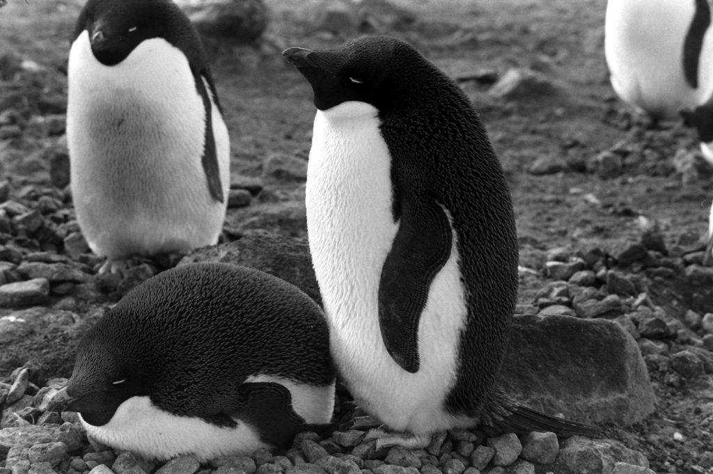 Penguins, Antarctica, 1964.
